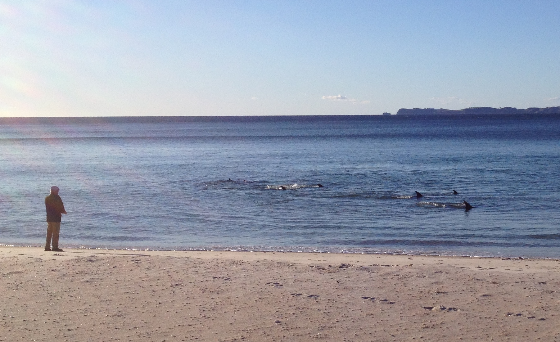 Our activities group stopped off at Otama when they saw this pod of dolphins playing around very close to the beach. Perhaps they were feeding, they were right there for about an hour.