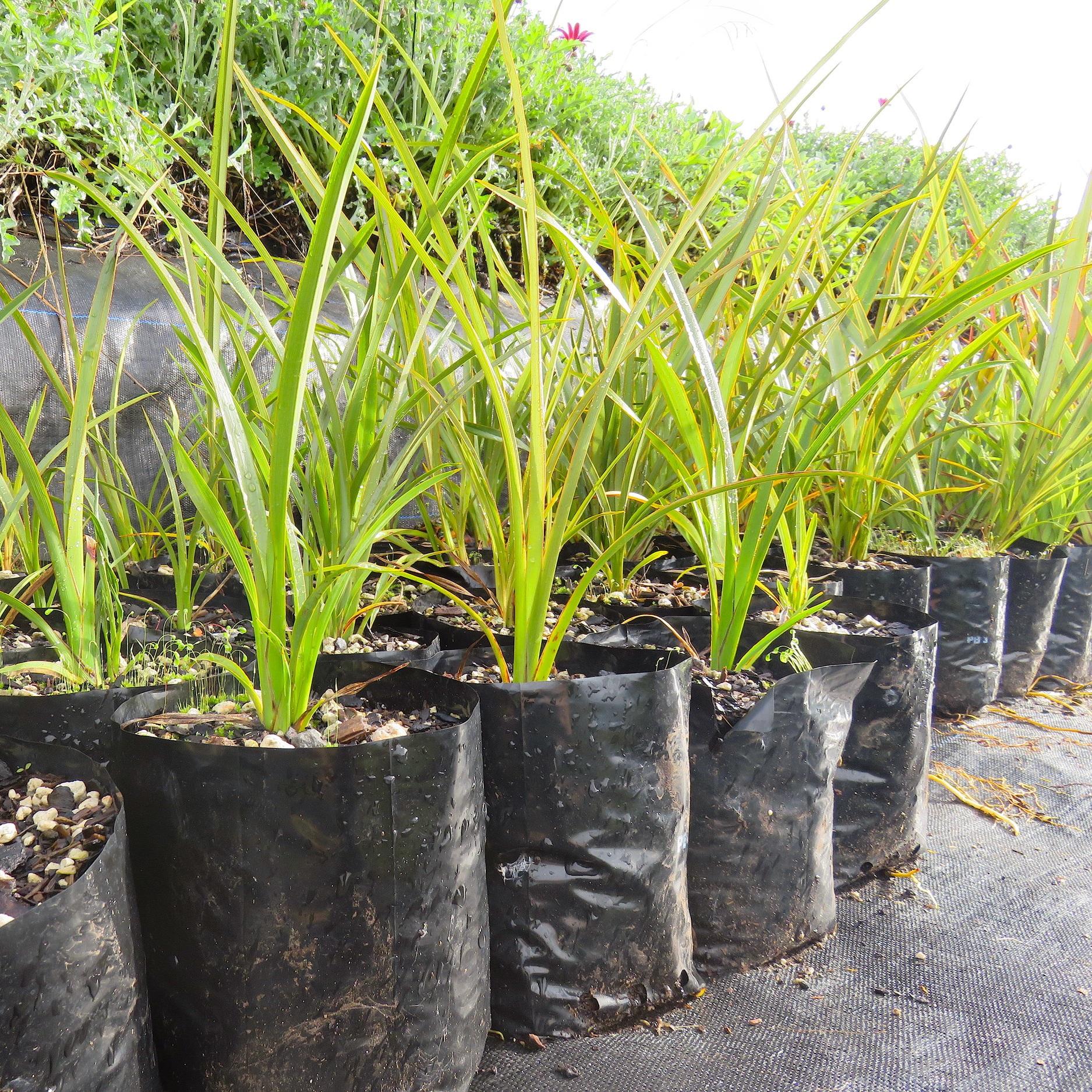 nursery3 flax.JPG