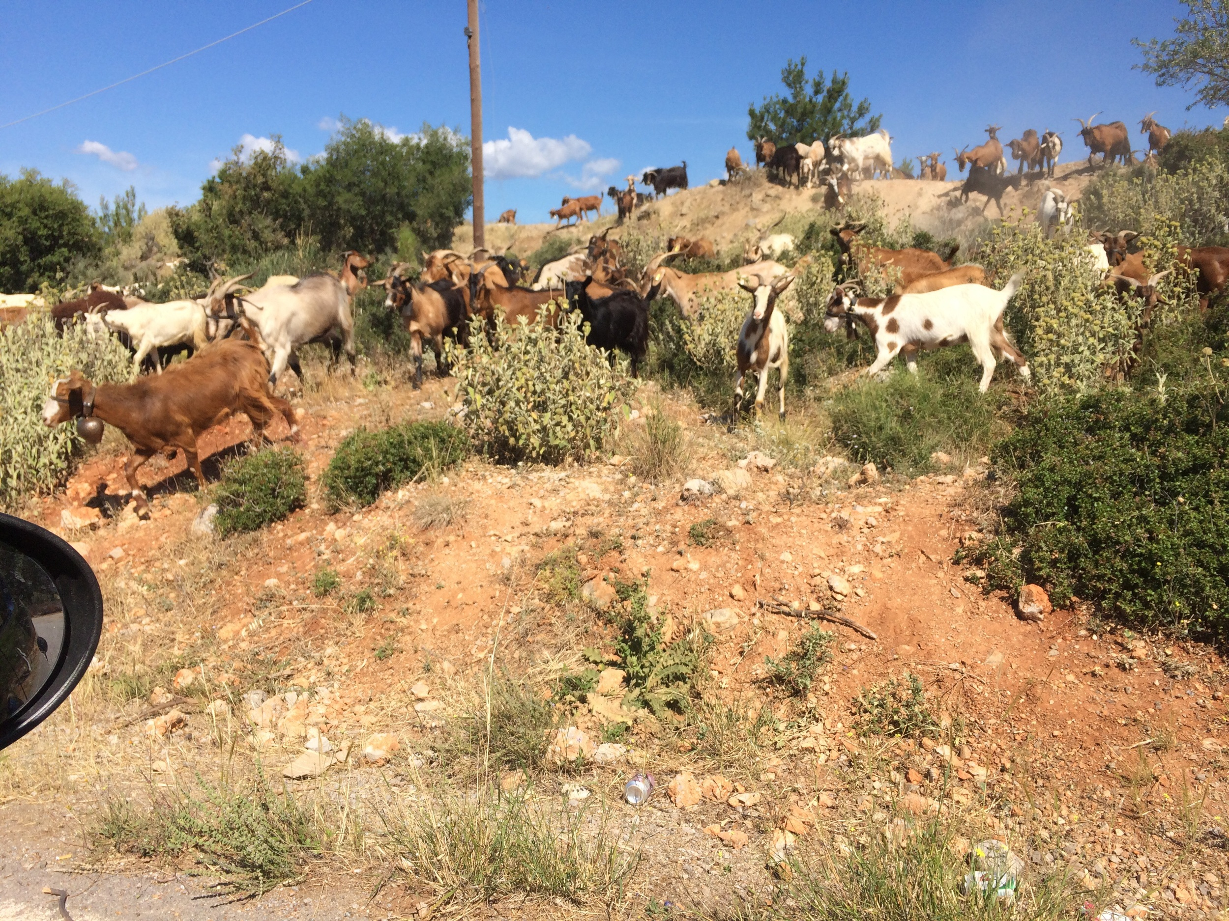 Goats outside of Delphi, complete with bells. I kind of wigged out.