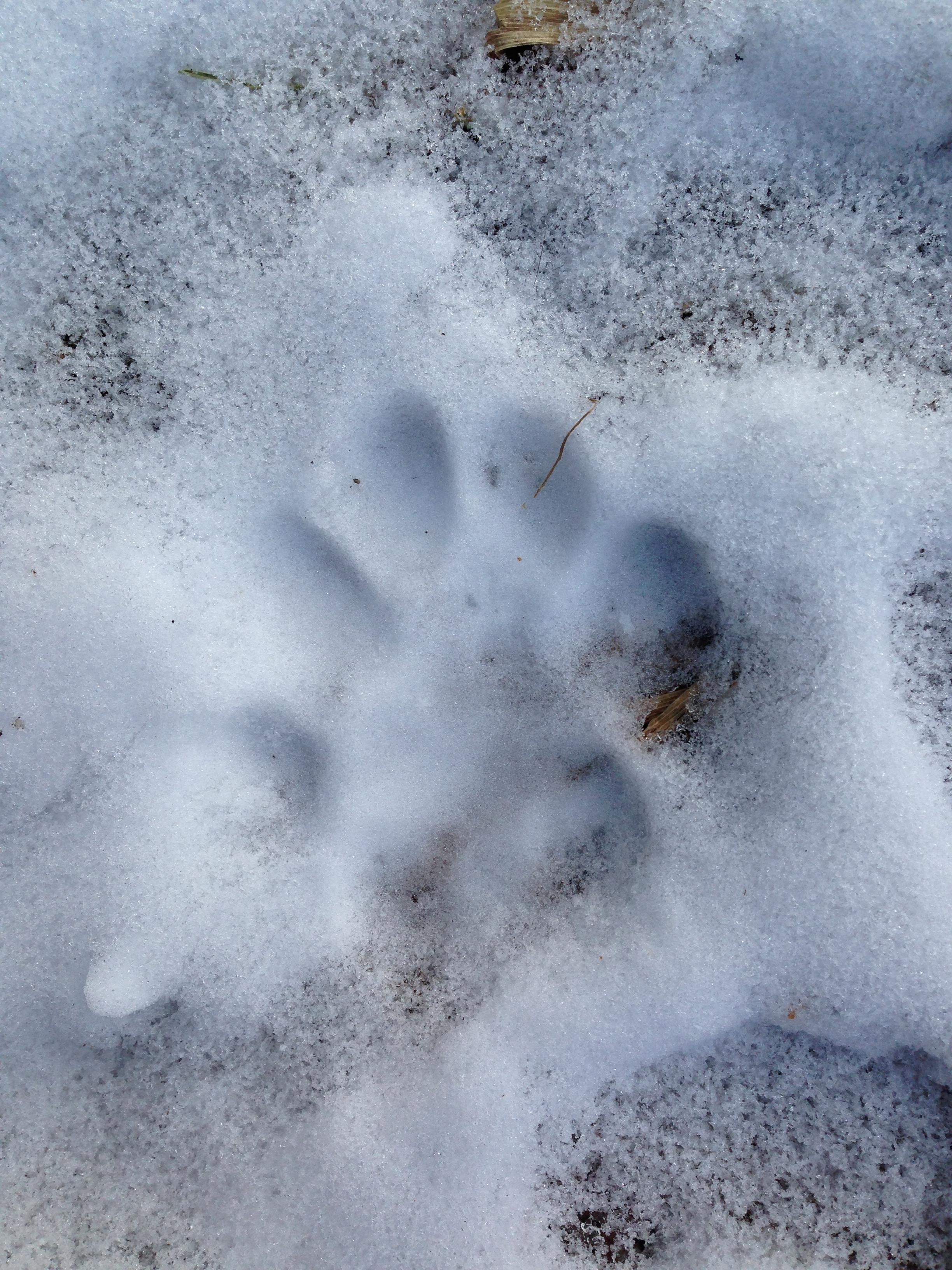 Bobcat tracks near Zombie Volcano
