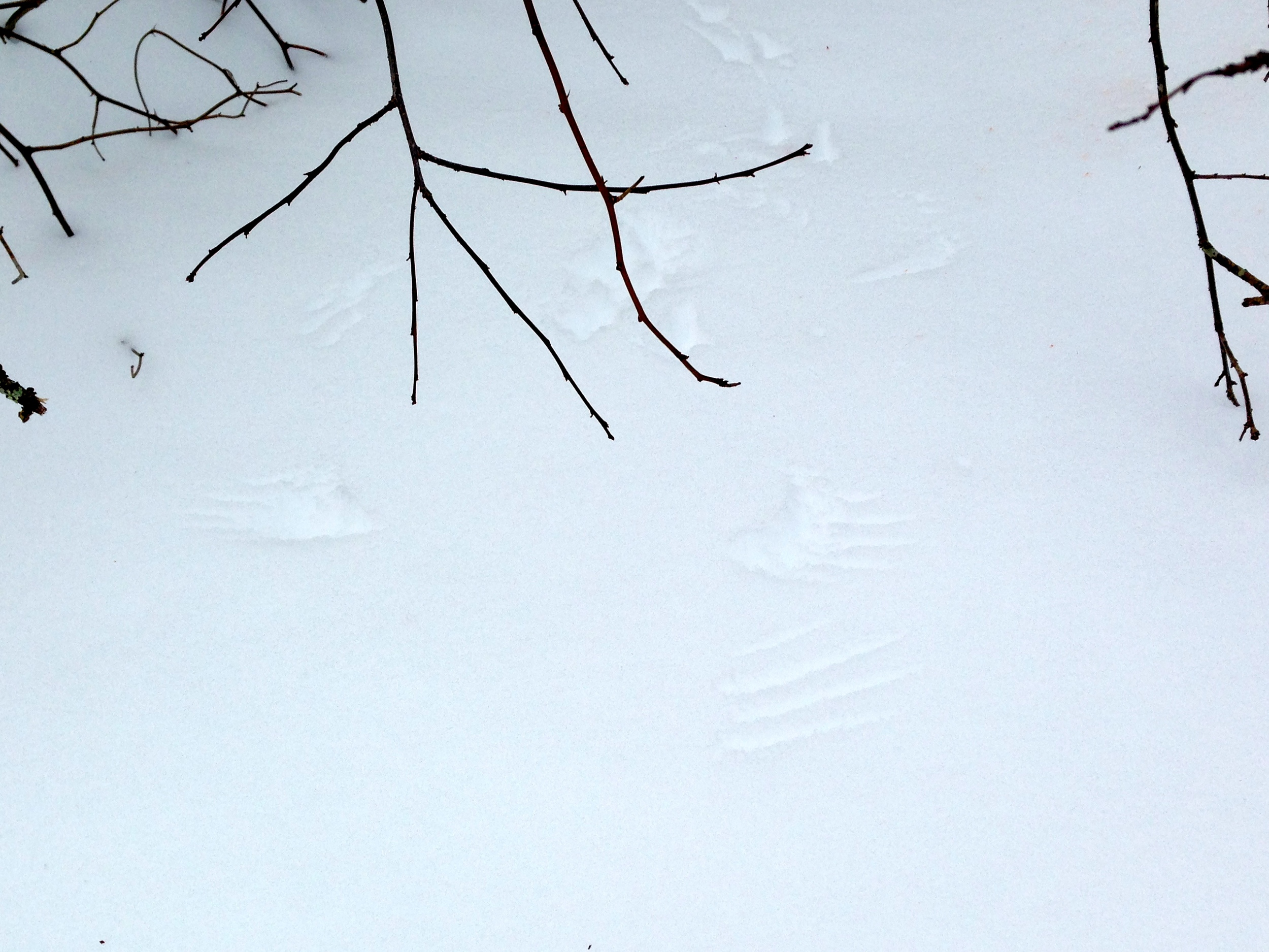 Raptor wing prints (center) intersect the trail of a small rodent, likely a mouse (top of page)