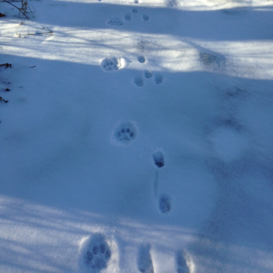Fresh bobcat tracks intersect an older cottontail trail beside the horse paddocks. T he rabbit was traveling toward the viewer. These tracks belong to the larger of two bobcats who share these woods and fields and sometimes travel together.