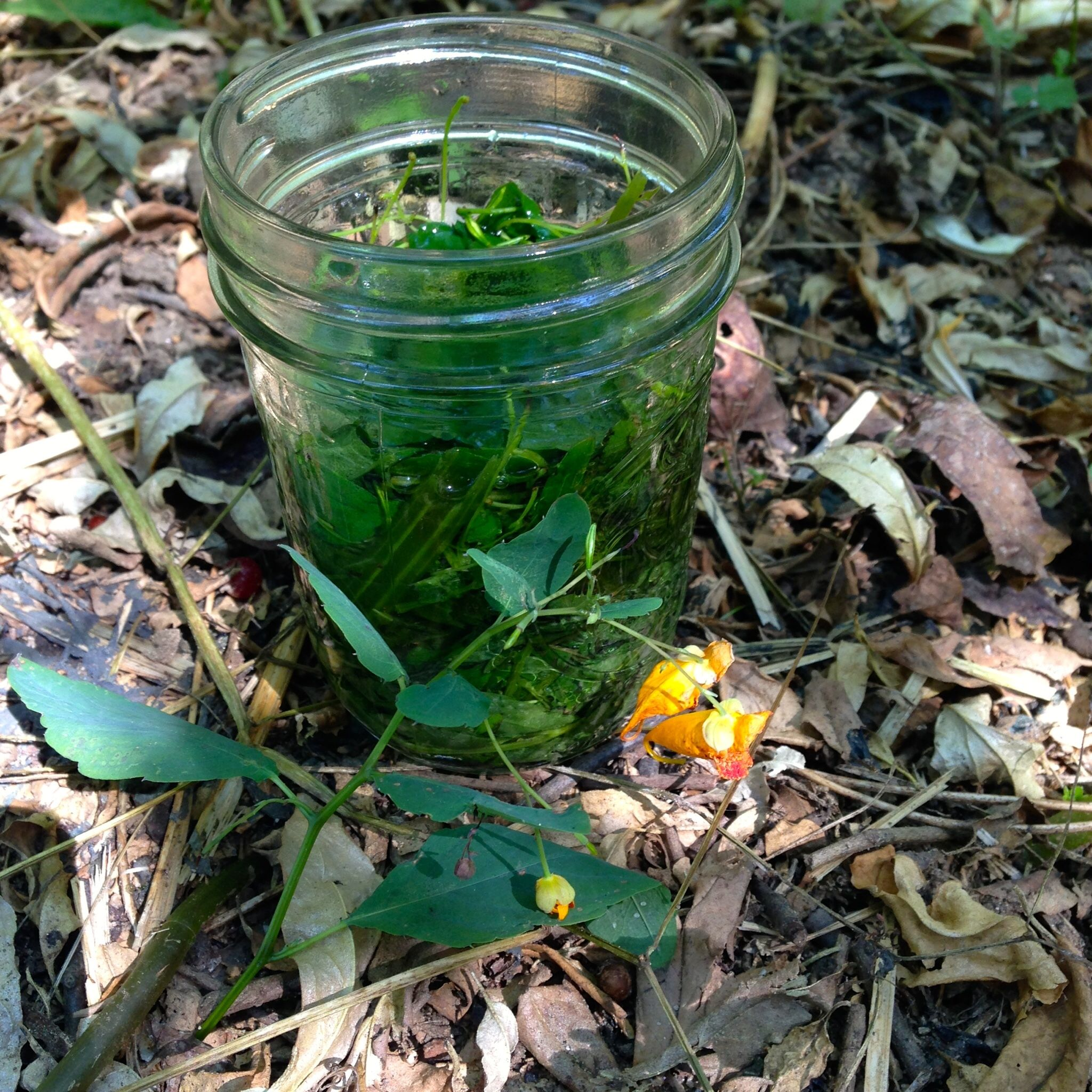 Jewelweed tincture. After 3 weeks we will remove the leaves and use it to soothe skin irritations.