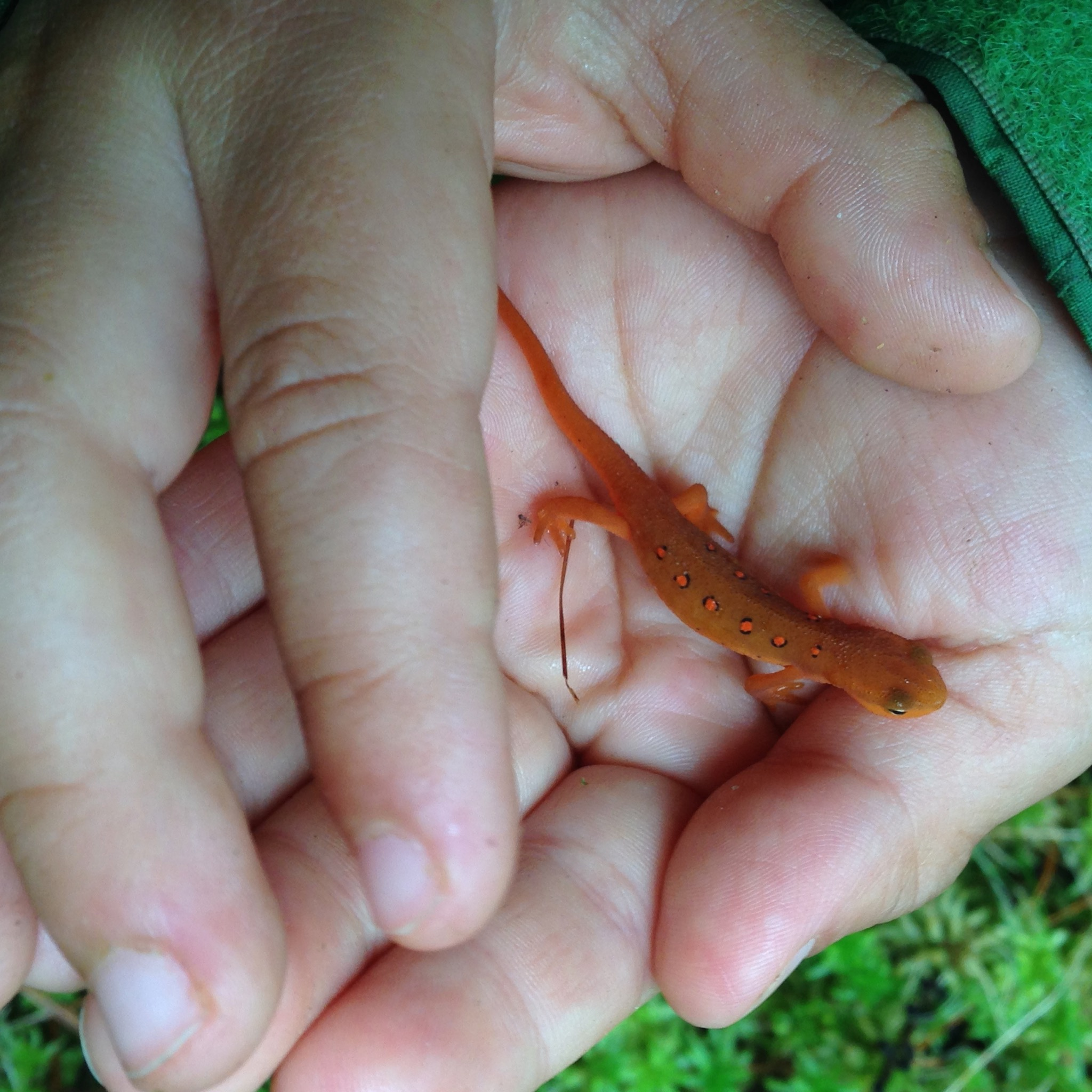 Red eft, the terrestrial juvenile stage of the Eastern newt. We must have seen 30 or 40 of these guys during our hike! At a pond, S+K found 6 of the olive colored aquatic adults.