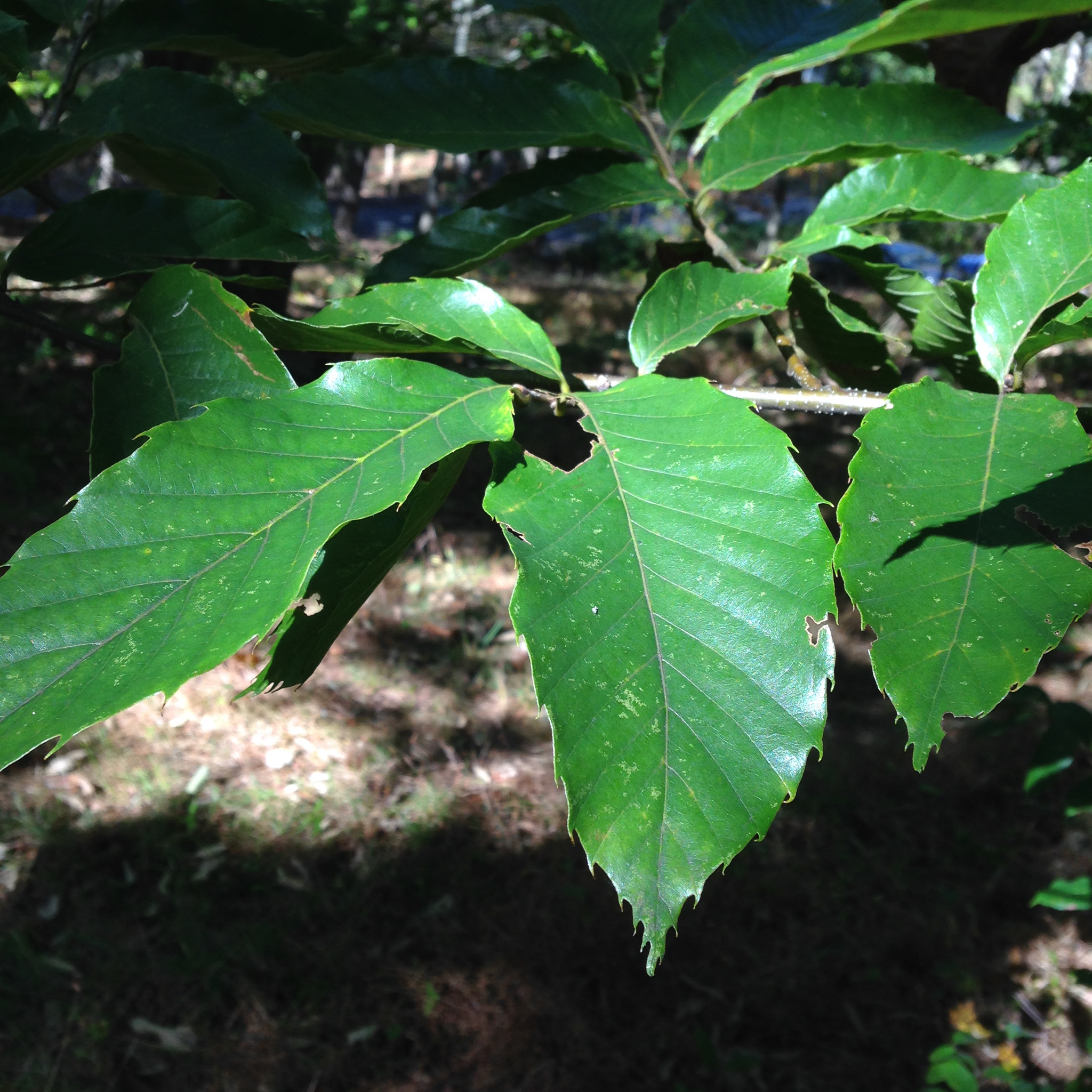 Getting to know the distinctive leave shape of chestnut