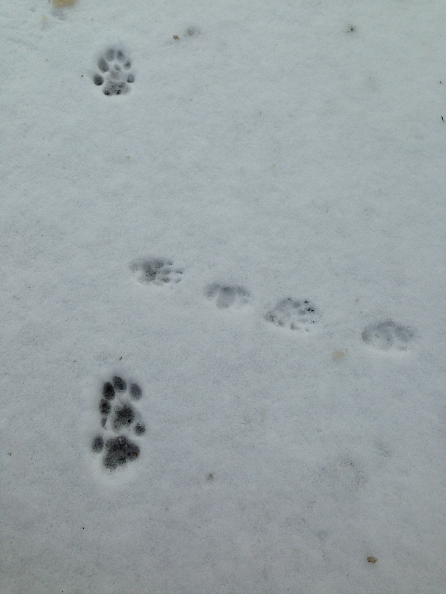 Bobcat crosses skunk tracks.