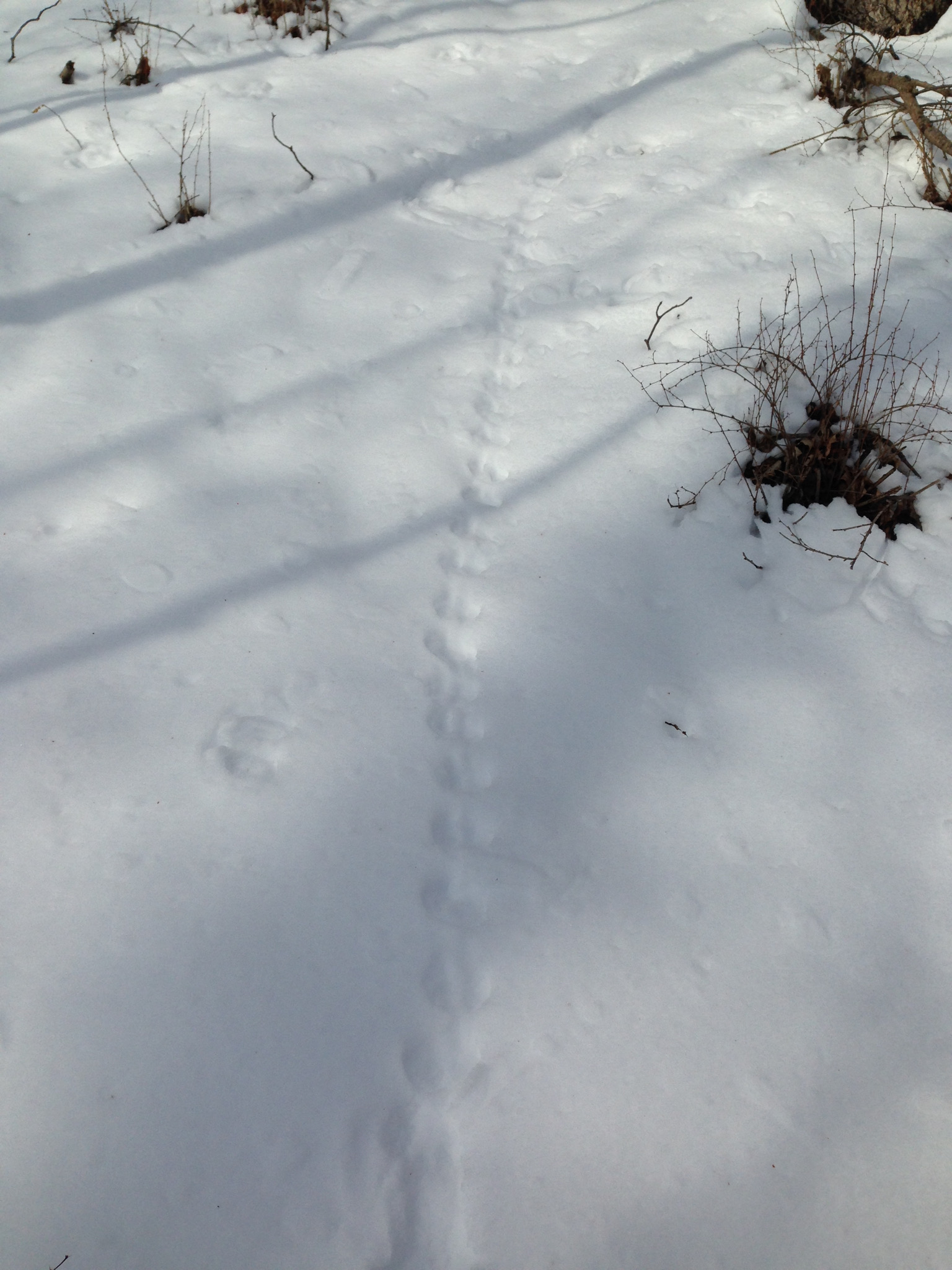We haven't seen chipmunk tracks in deep snow here in previous years. Usually they are still in their burrows when the snow is this deep.