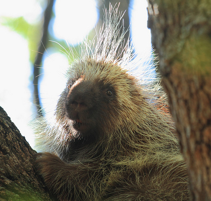 porcupine_cropped