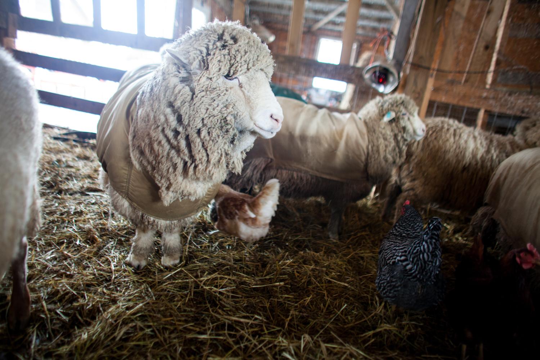 SheepShearing-13.jpg