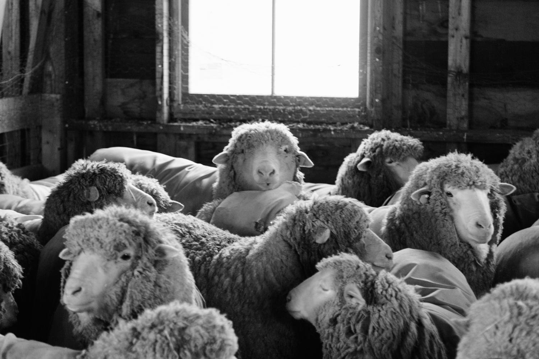 SheepShearing-24.jpg
