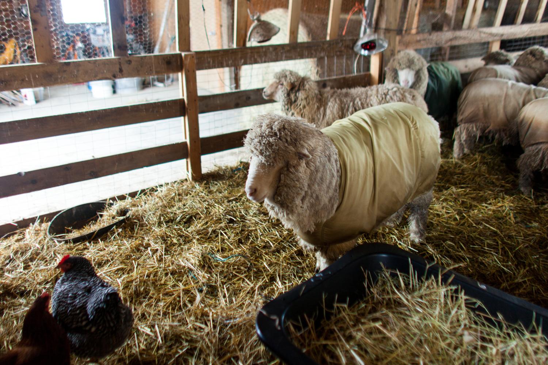 SheepShearing-22.jpg