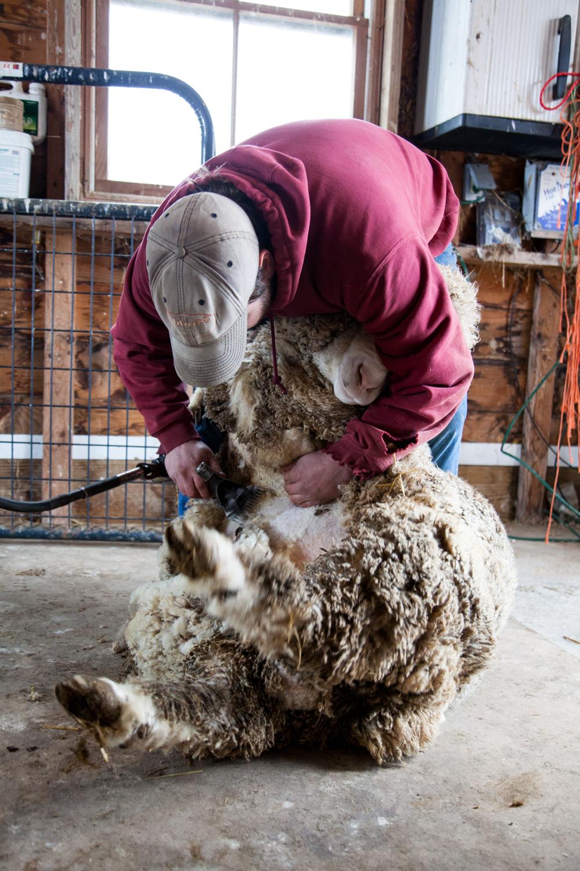 SheepShearing-38.jpg