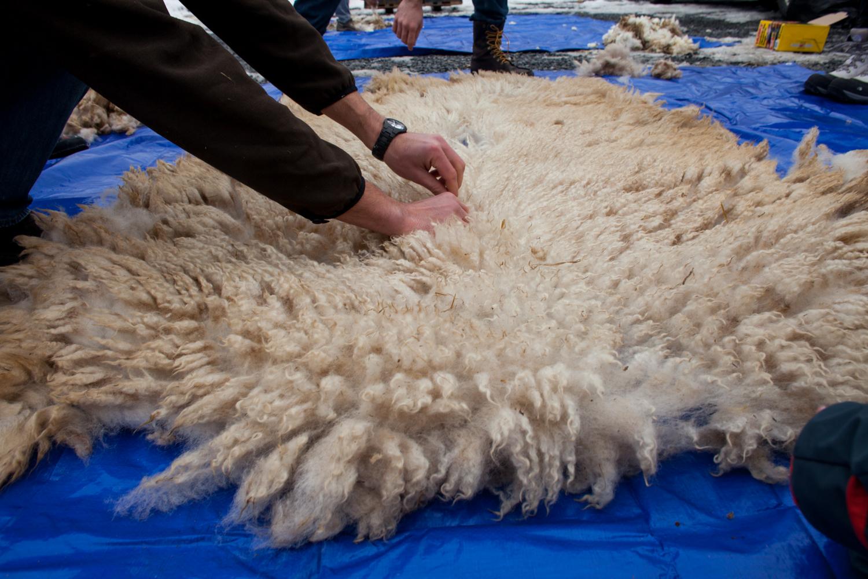 SheepShearing-83.jpg