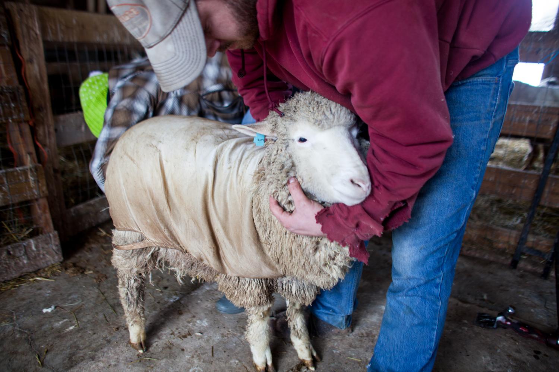 SheepShearing-110.jpg