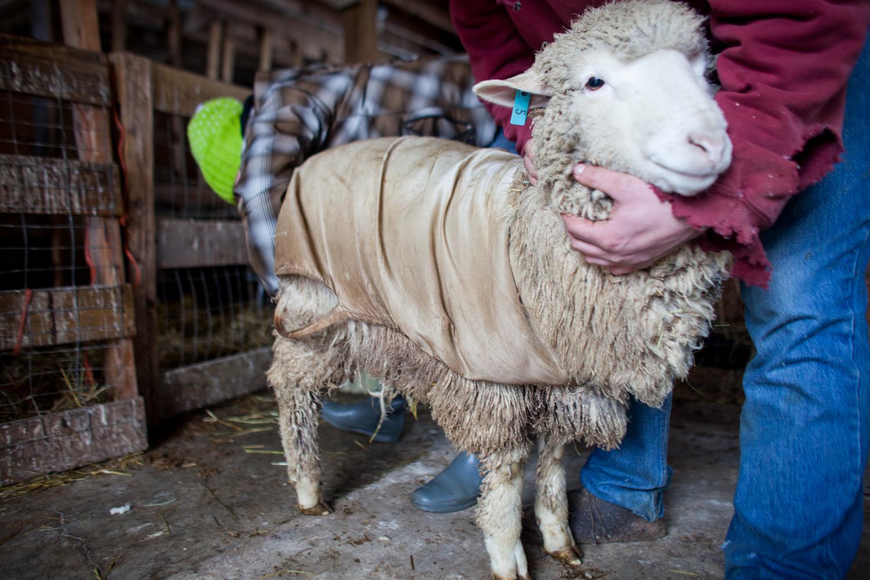 SheepShearing-113.jpg