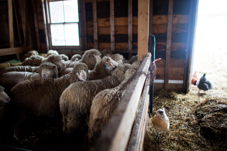 SheepShearing-158.jpg