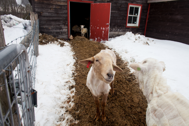 SheepShearing-163.jpg