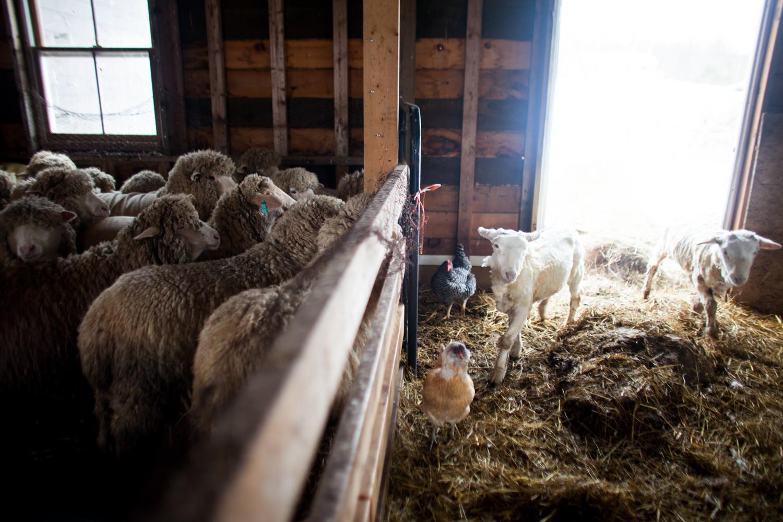 SheepShearing-160.jpg