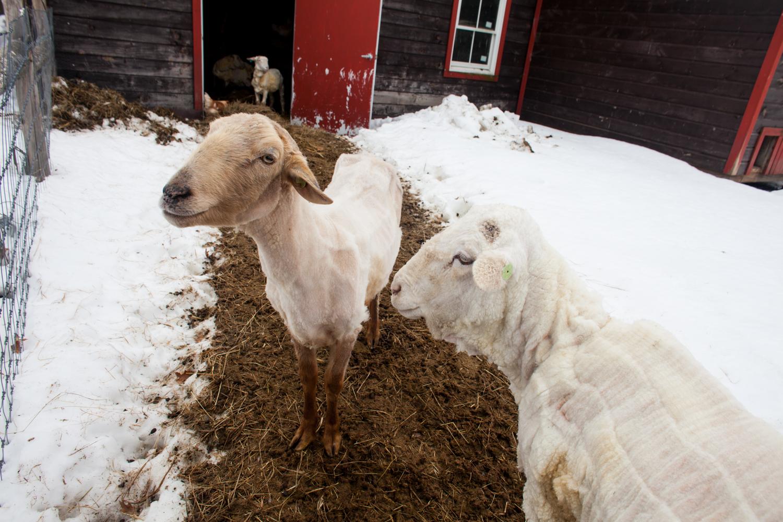 SheepShearing-165.jpg
