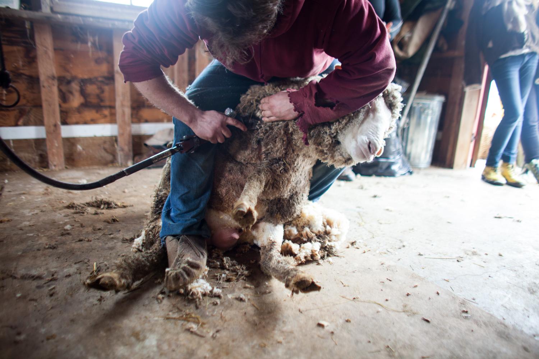 SheepShearing-178.jpg