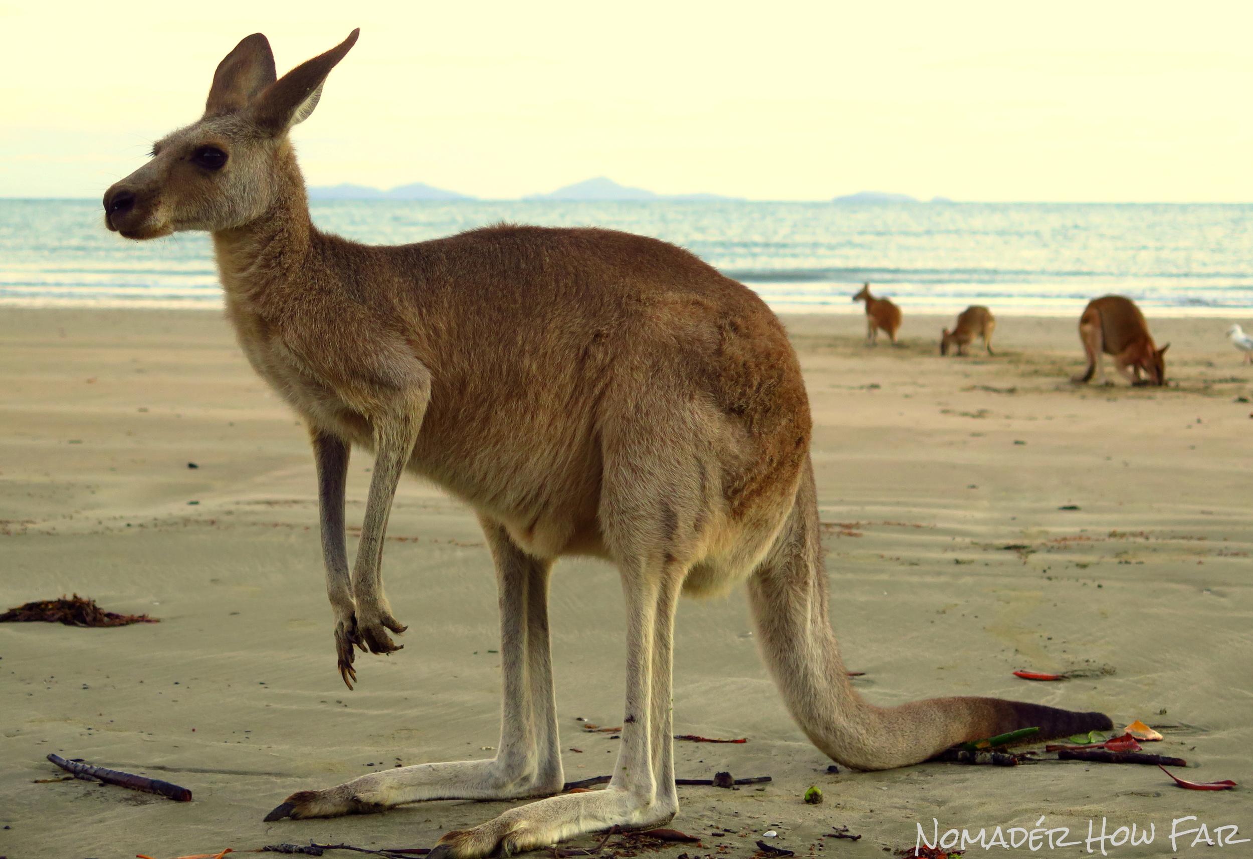 kangaroo cape hillsborough