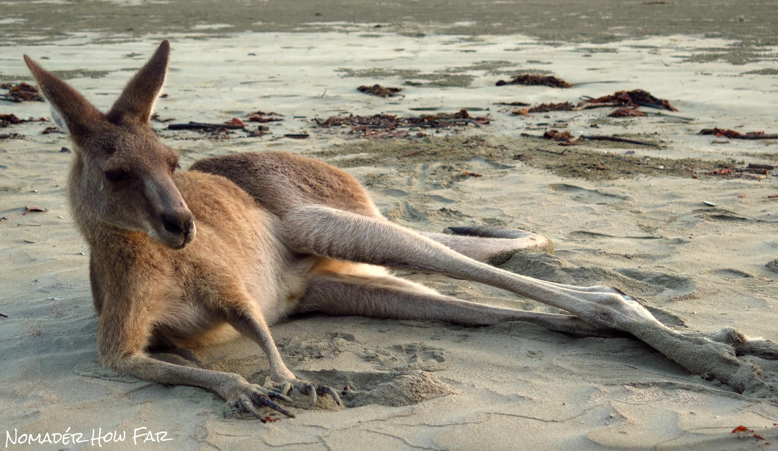 kangaroo relaxed