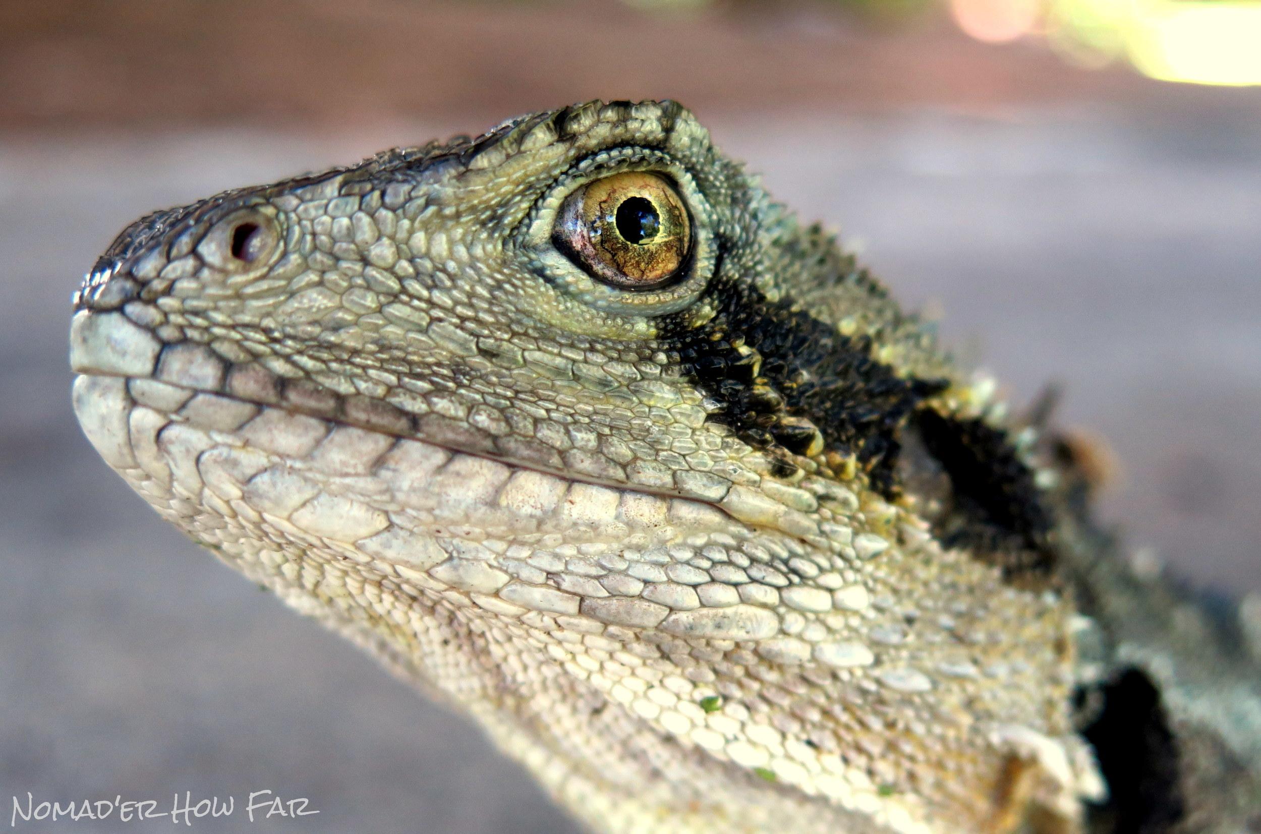 Lizard Eye - Brisbane, Australia