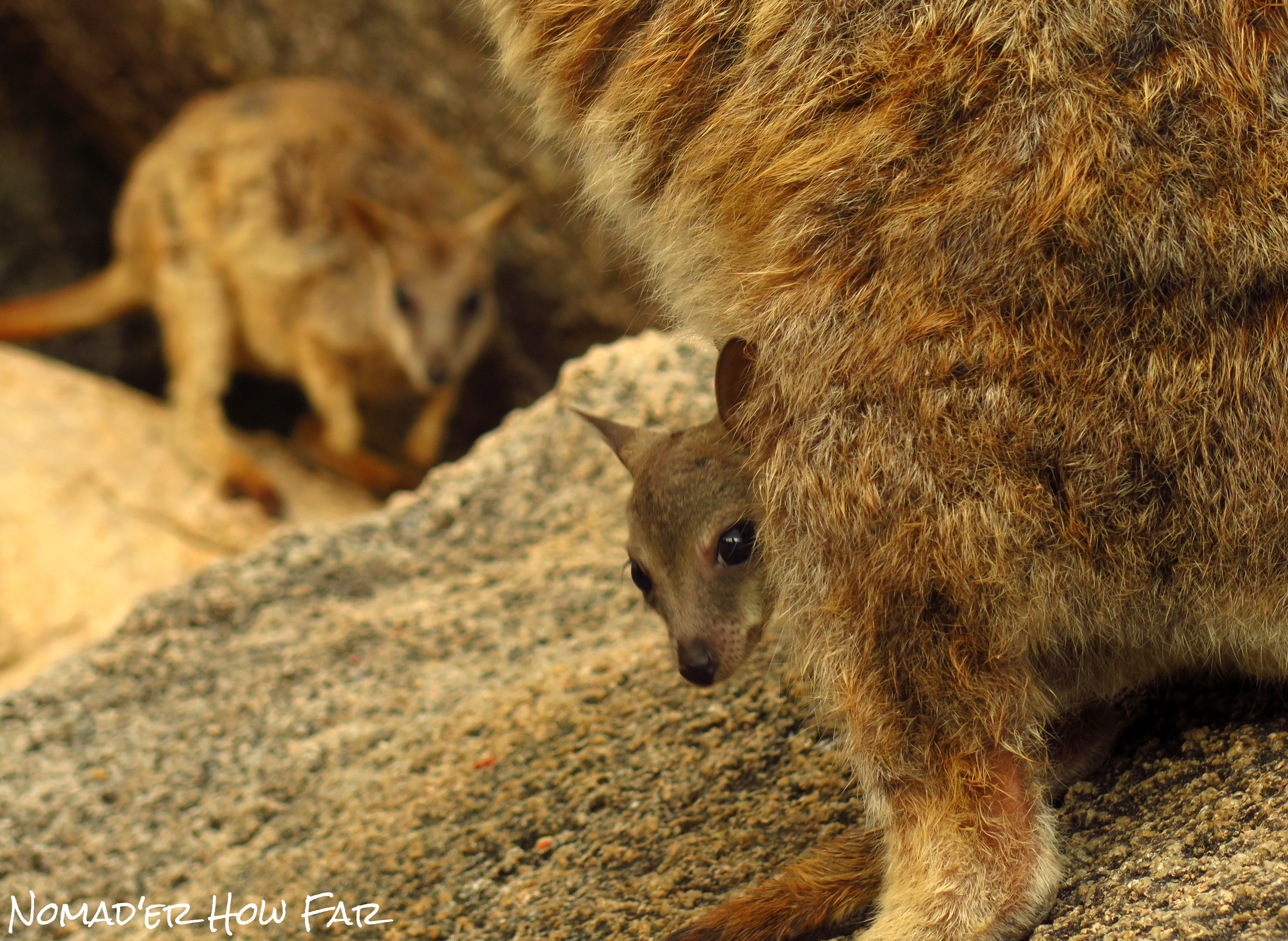 rock wallaby baby