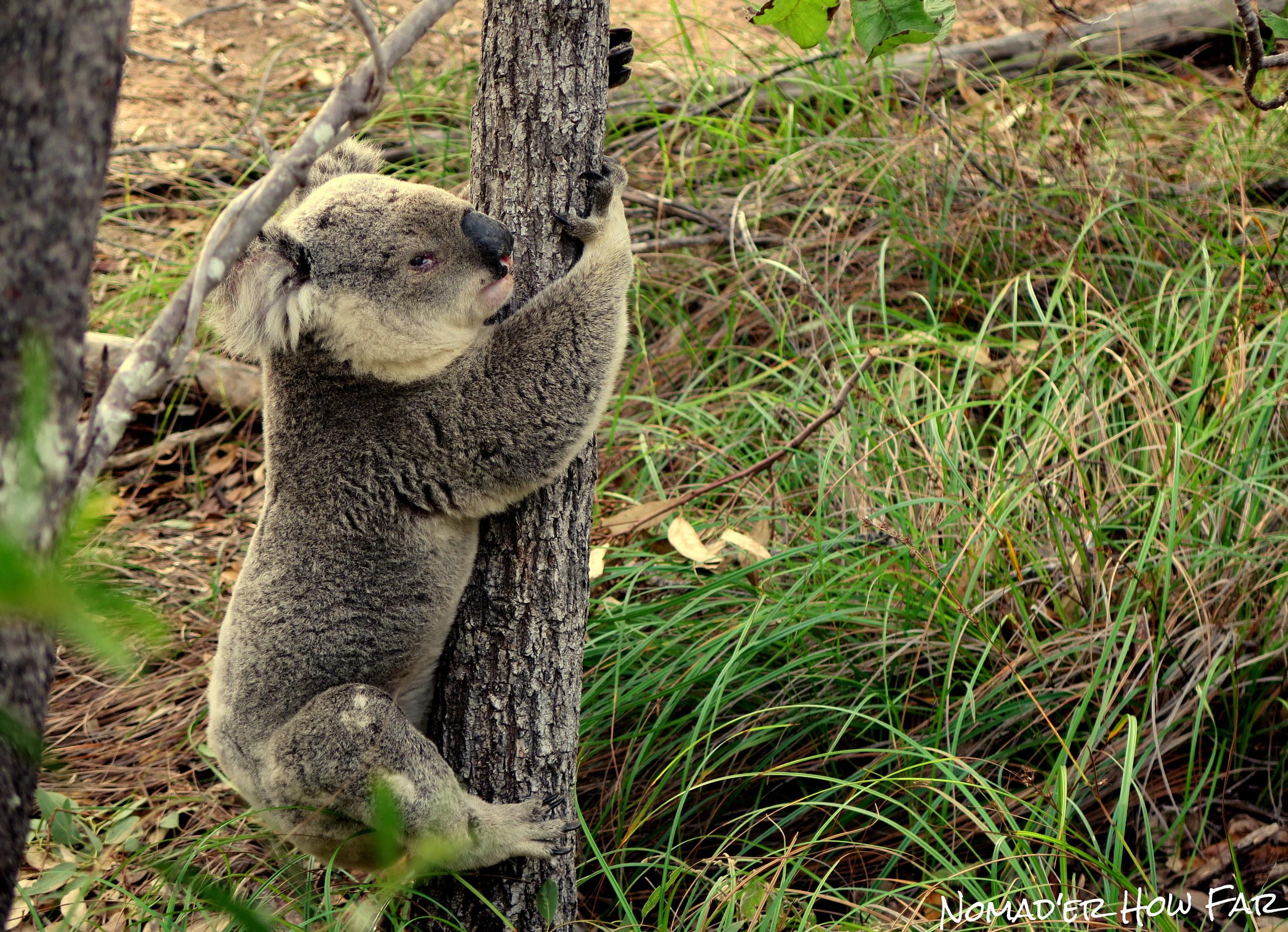 Wild koala climbing