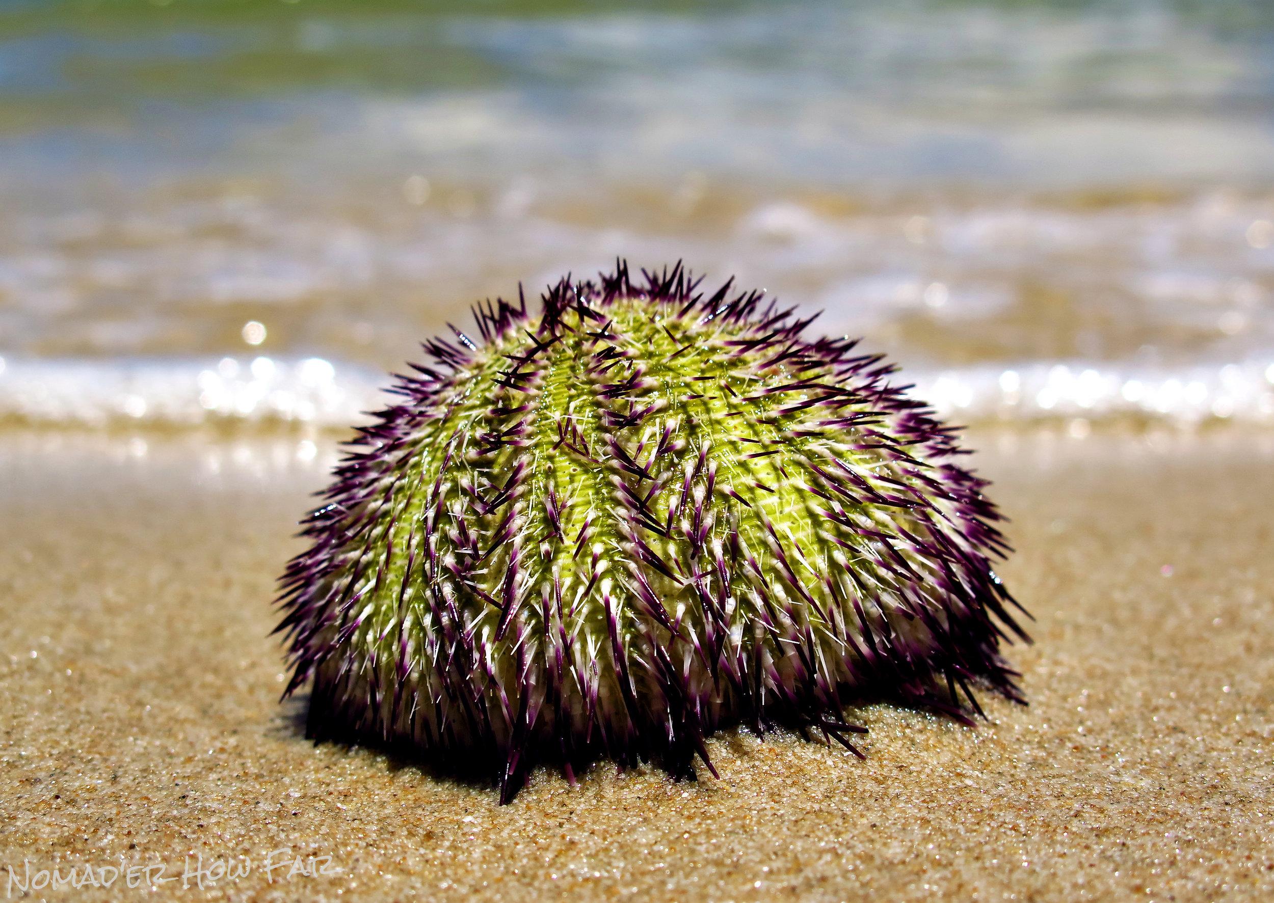 Sea Urchin - Otres Beach, Cambodia