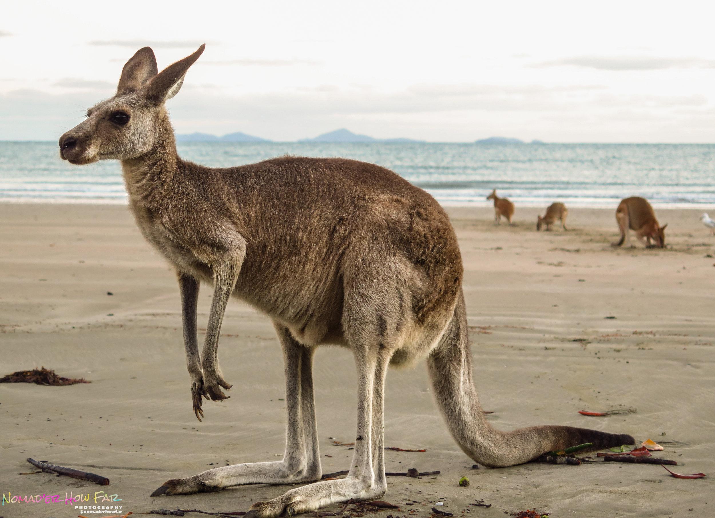 Posing kangaroo, Australia