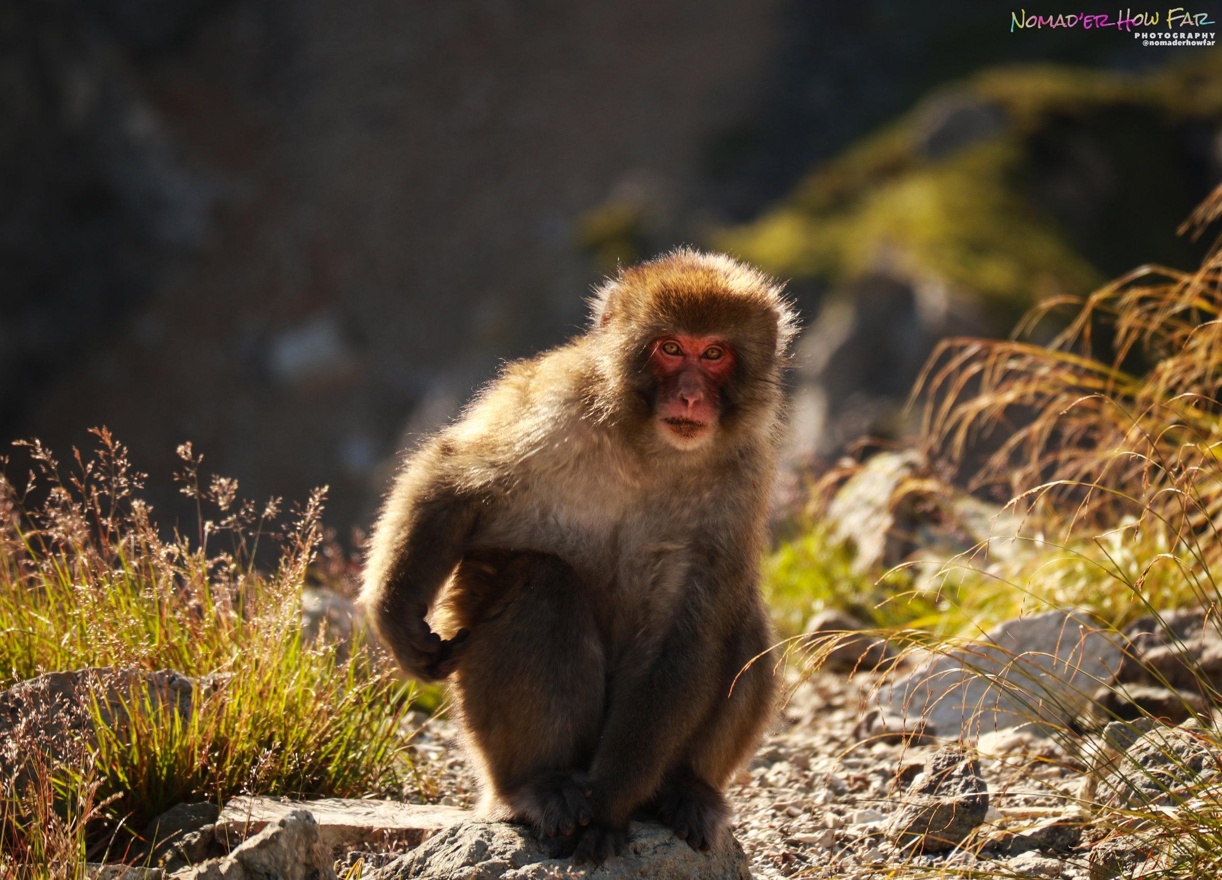 Japanese macaque // Hakuba, Japan