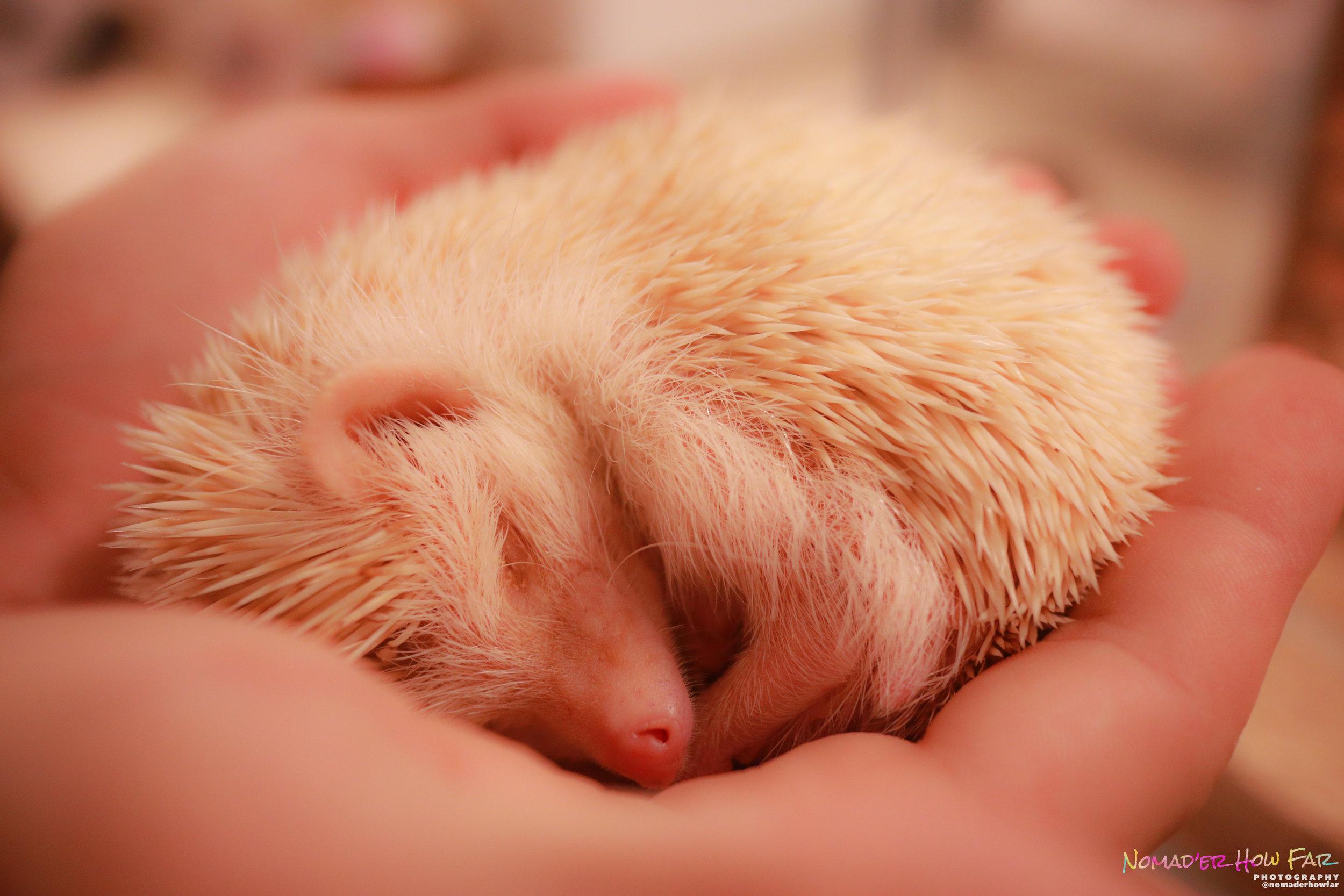 Cute Hedgehog // Japan