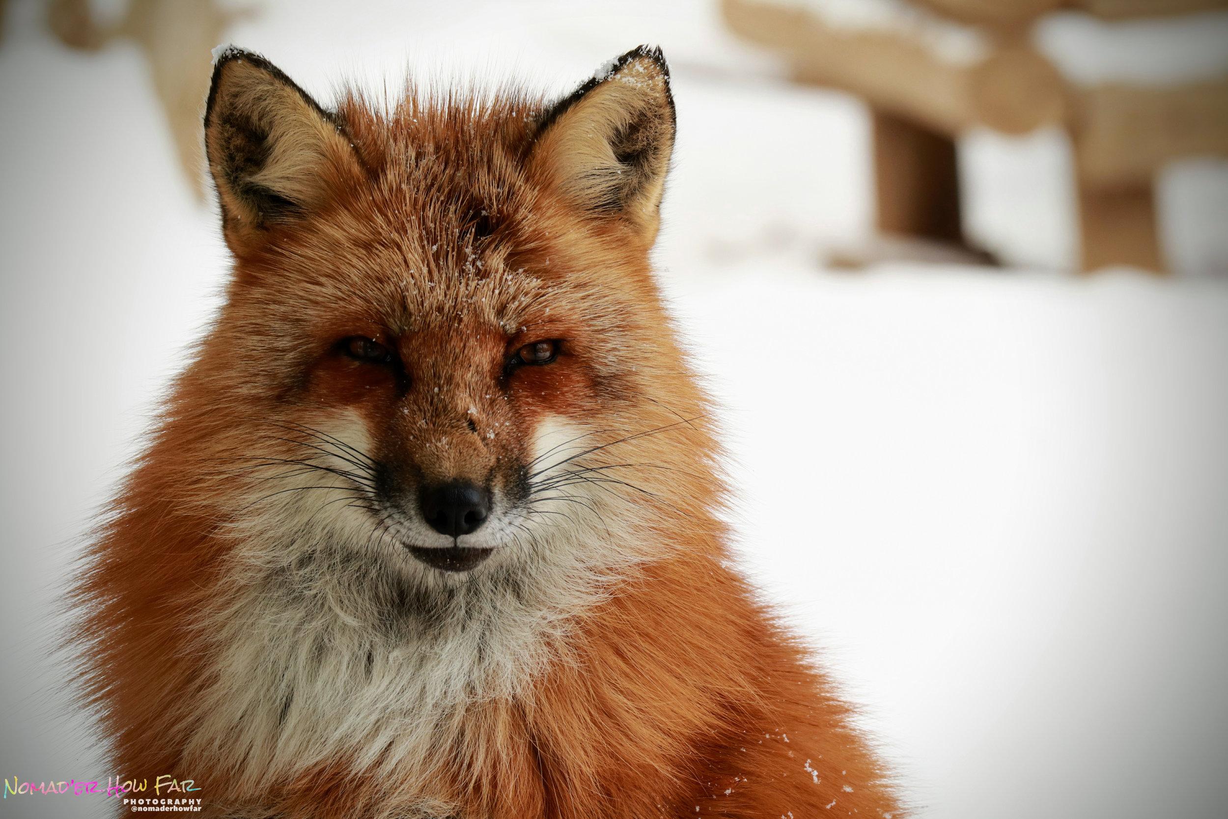 Snow Fox // Japan