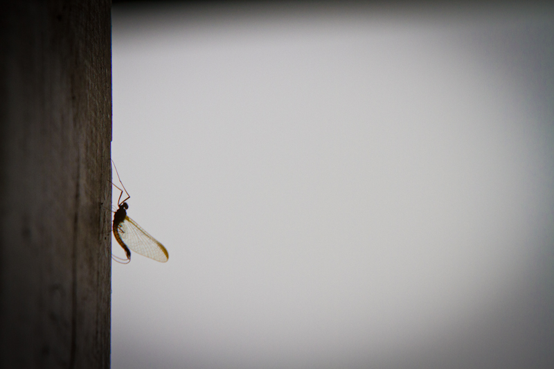 Mayfly at the lodge.