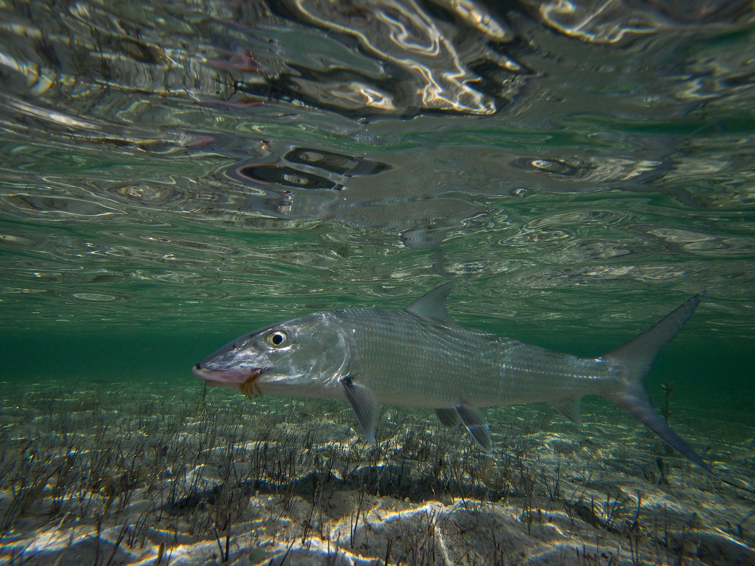 Underwater Bonefish, Jardines de la Reina, Cuba