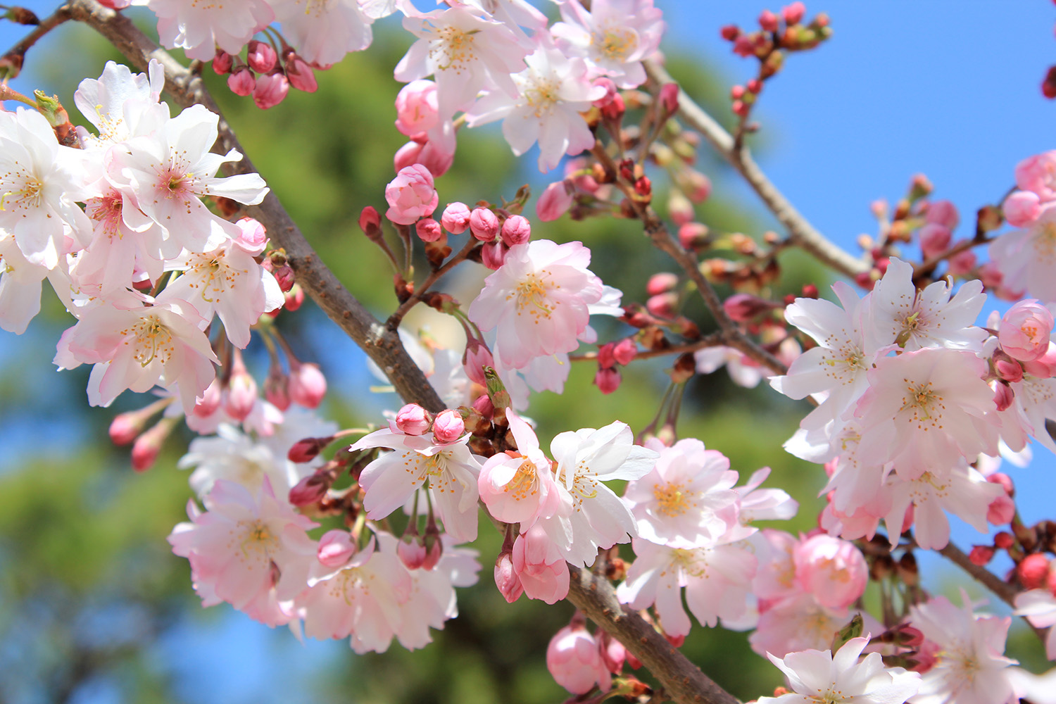 Cherry blossom in full bloom