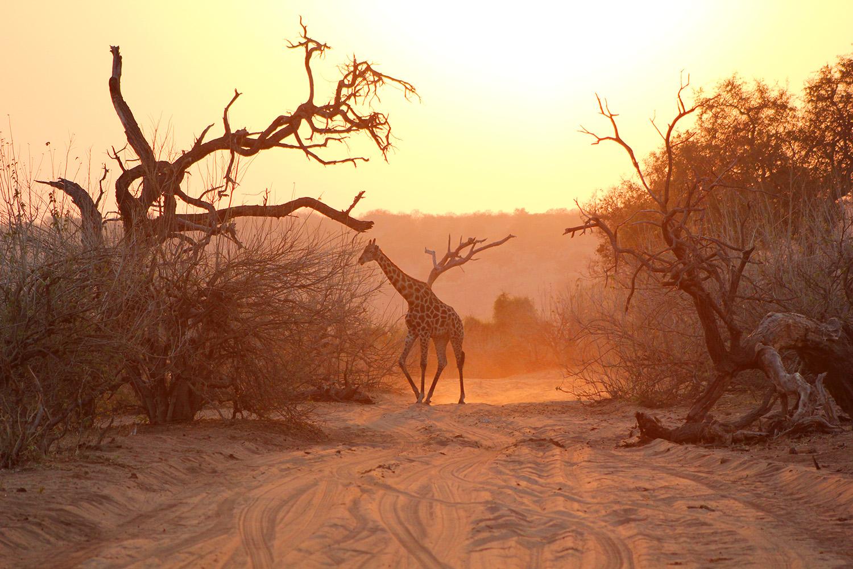 Africa_Dawn_Giraffe_Chobe_1500px.jpg