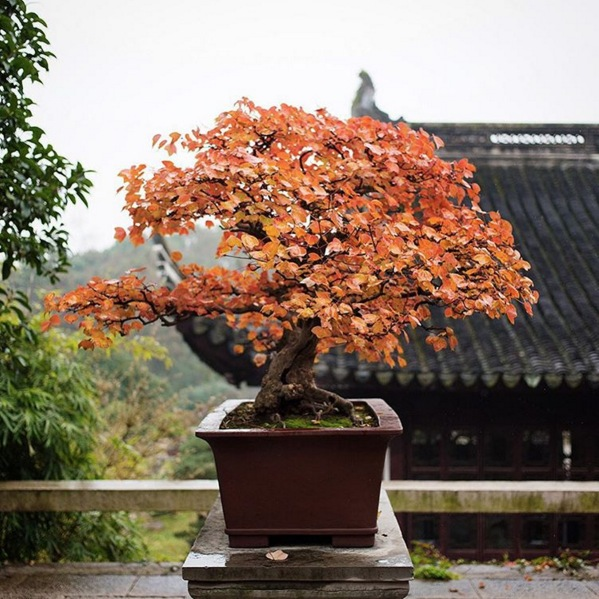 A bonsai in the potted gardens. Image via  @jungletimer