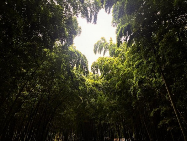 The bamboo forest. Image via  @lweatherbee