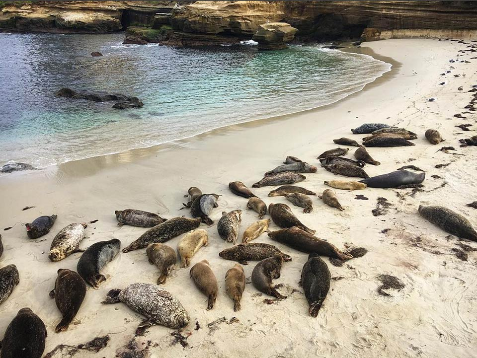 Seals lounging in La Jolla. Photography by  @lweatherbee