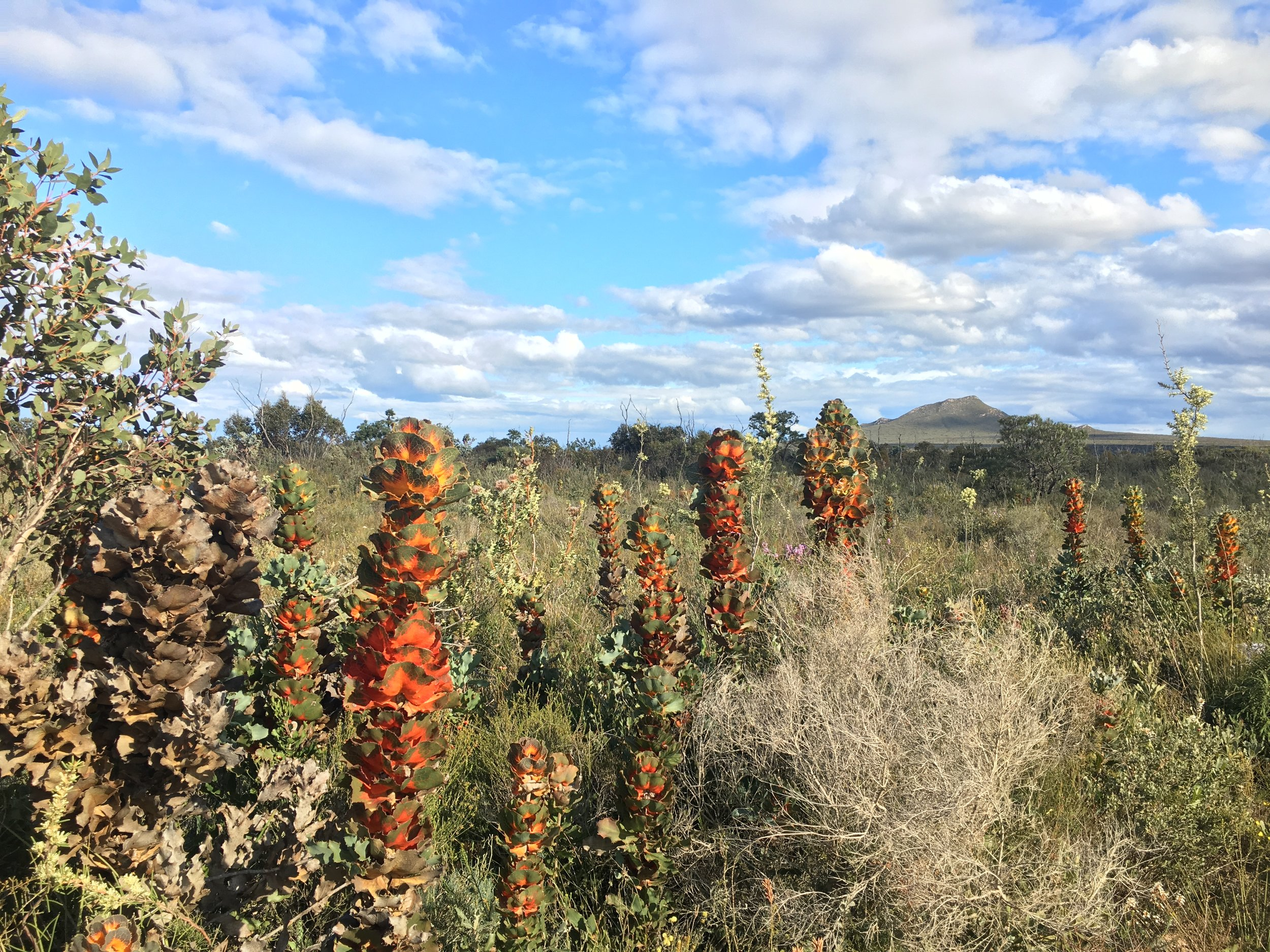 Rare Royal Hakea WA wildflowers