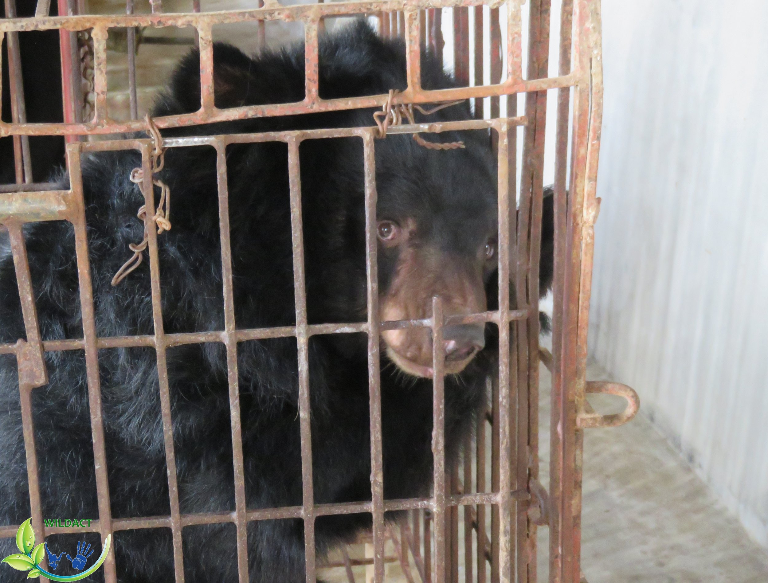 A moon bear were kept in captivity for bear bile farming in Vietnam - WildAct