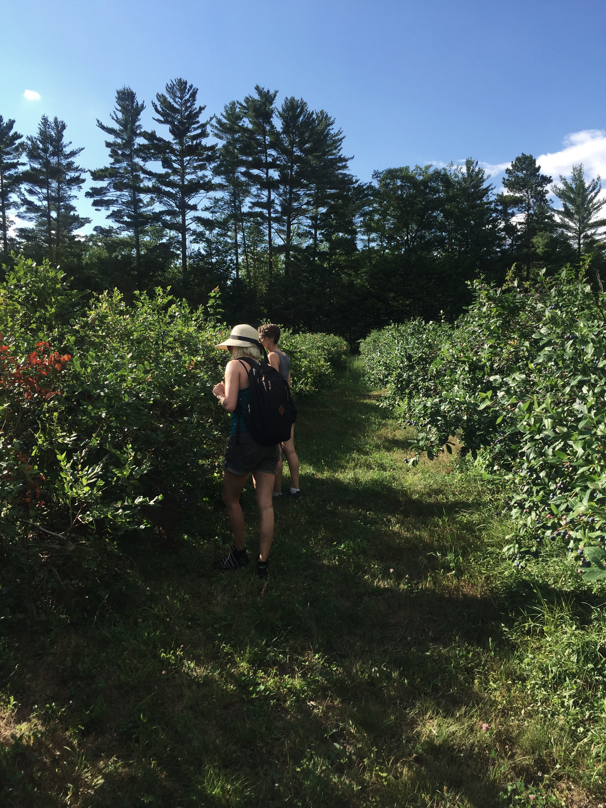Picking blueberries at the blueberry patch!