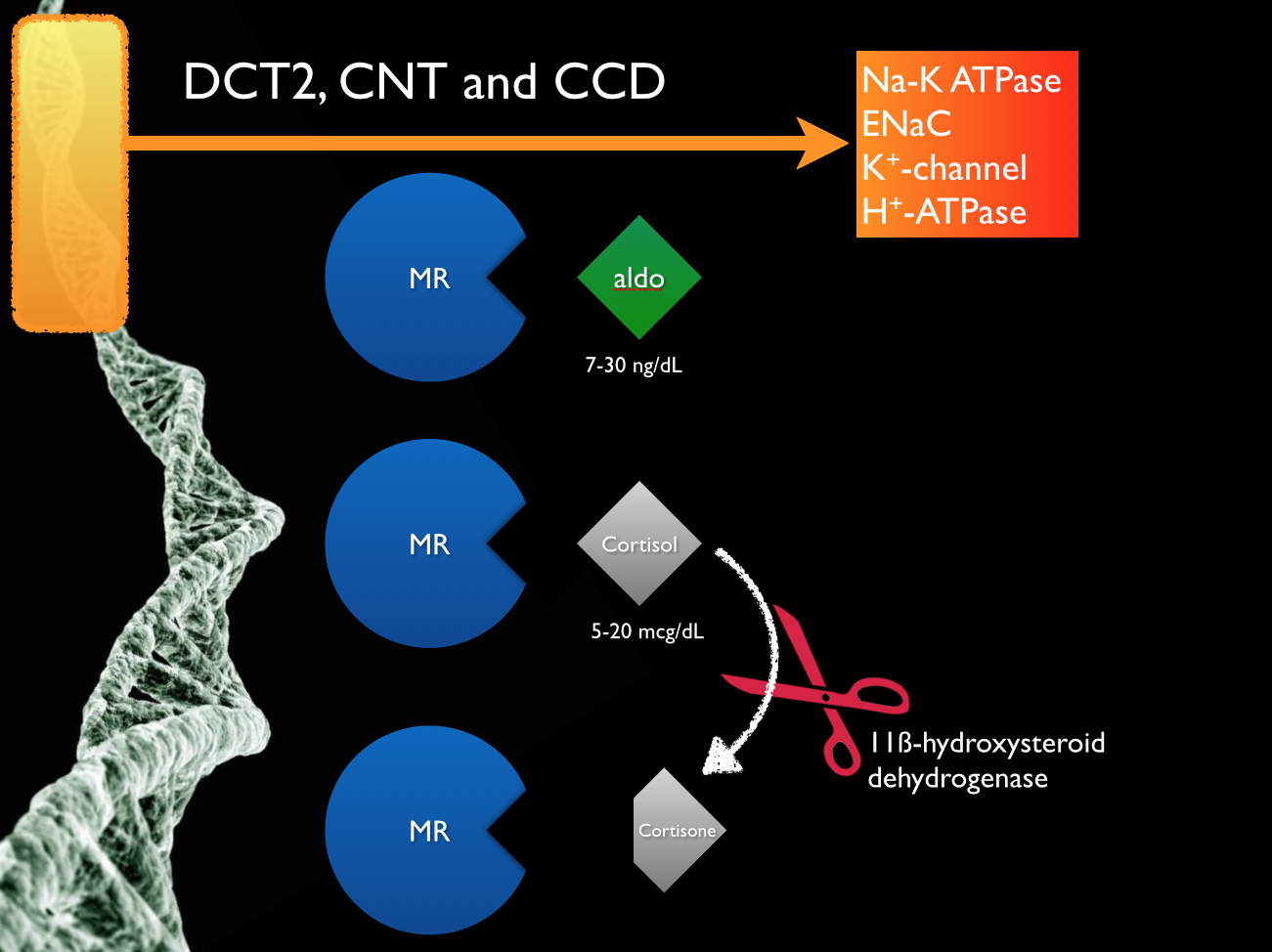 The cortisol can activate the same mineralocorticoid receptor tissue as aldosterone. In DCT1 (and much of the body) cortisol which circulates at 1,000 times the concentration of aldosterone swamps the MR receptor and makes it essentially unresponsive to changes in the aldosterone concentration. 11beta-hydroxysteroid dehydrogenase inactivates cortisol. This makes the tissue sensitive to changes in aldosterone levels. From the Potassium and Metabolic Alkalosis Lecture found  here  .
