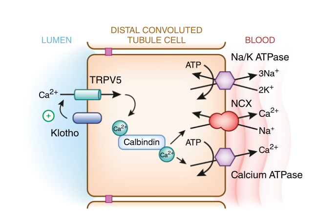 Subramanya AR, Ellison DH. Distal convoluted tubule. Clin J Am Soc Nephrol. 2014;9(12):2147-63. (  Link  )