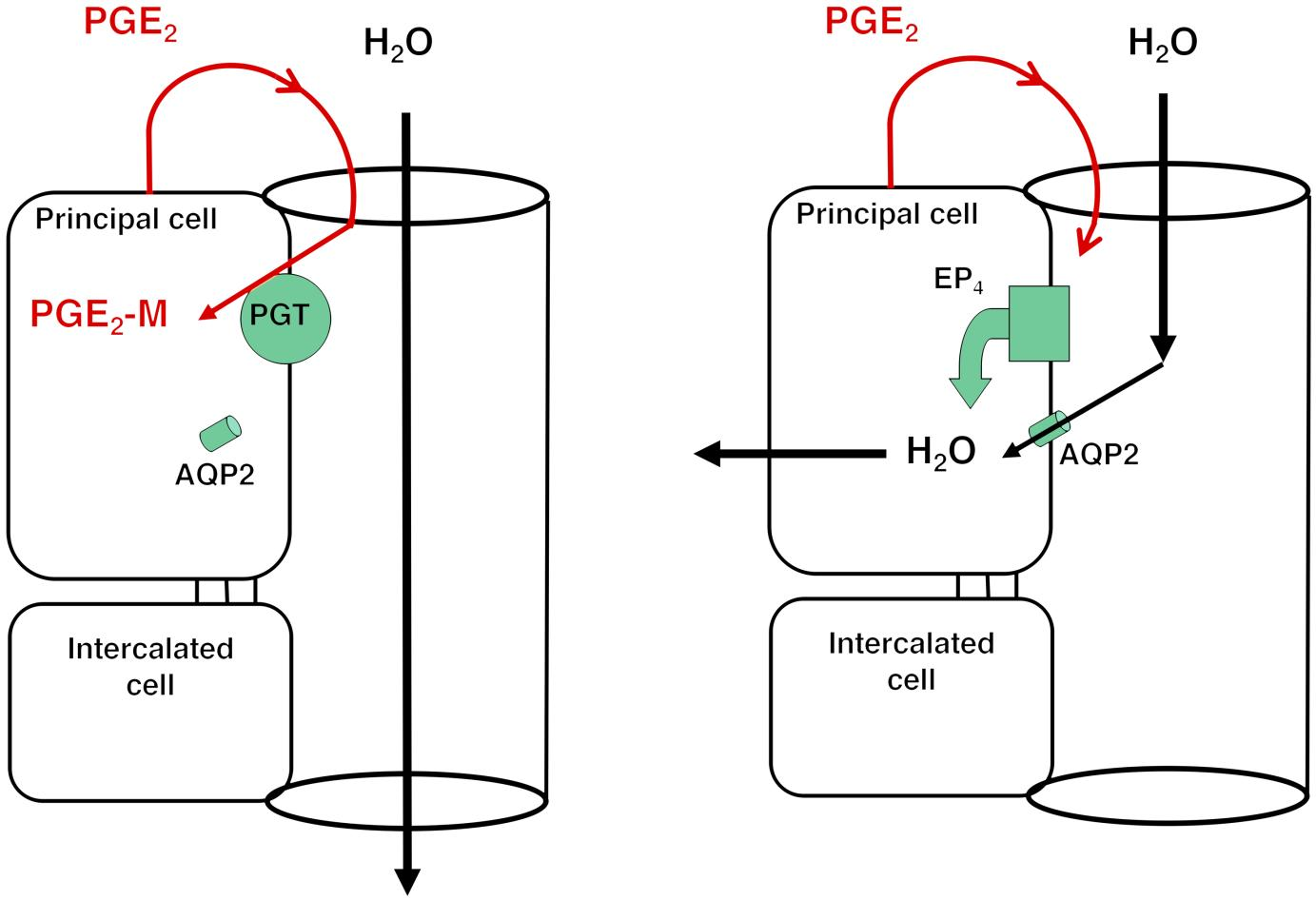 LEFT: Under low ADH conditions, apical PGT in the renal collecting duct scavenges PGE2 from the lumen, resulting in AQP2 internalization and minimal osmotic water reabsorption.  RIGHT: With reduced or absent apical PGT, PGE2 reaching the lumen is able to stimulate apical EP4 receptors, resulting in insertion of AQP2 and osmotic water reabsorption.