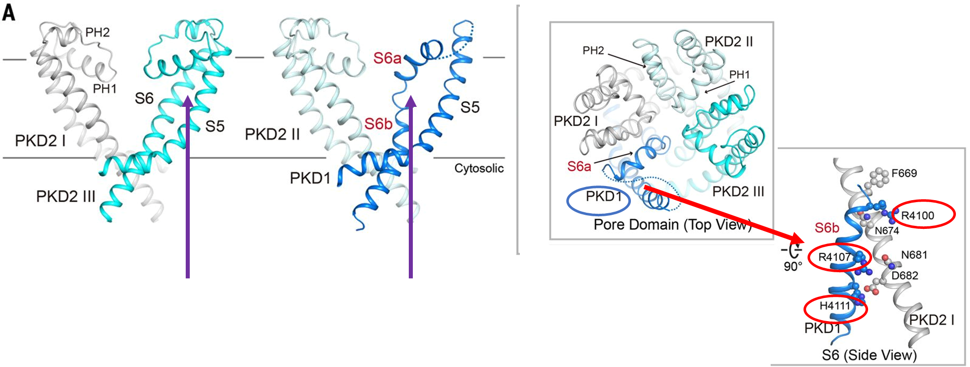 Fig 3 from Su et al, Science 2018, with additional explanatory markers (see below for explanation). PKD1 disrupts the fourfold symmetry of an otherwise typical VGIC fold. PKD1-S6 exhibits a distinct conformation from all VGIC channels of known structures. Whereas the sequences corresponding to the selectivity filter and the supporting helices (PH1 and PH2) are invisible in PKD1, the extracellular segment of the bent S6 resembles PH1. (   B   ) Three positively charged residues on S6bPKD1 may block cation permeation. Right: The conformation of S6bPKD1 is stabilized by residues on PKD2-S6I. The discussed residues are shown as spheres. (   C   ) When viewed from the cytosolic side, S6PKD1 displays a 15° deviation from the expected position for a fourfold symmetry.