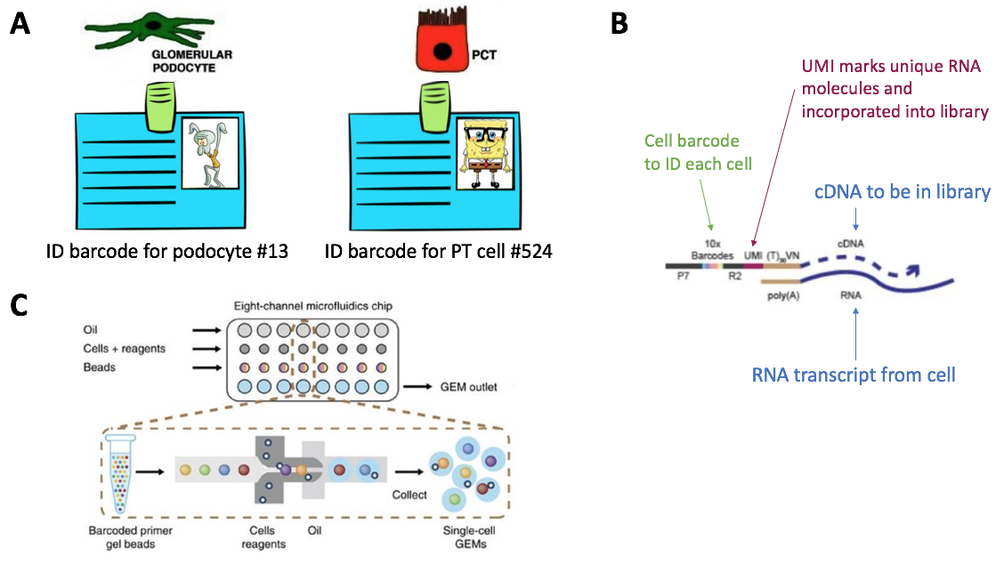 #NephJC Figure 2.   Step 2 of the scRNA-seq workflow is to make unique droplets, with each droplet containing a single cell and a gel bead with cell barcode and UMIs. (A) Conceptual representation of cell barcodes. Thank you to Dr. Josh Waitzman (@jwaitz) for the SpongeBob inspiration. (B) Visual representation of how cell barcodes and UMIs get incorporated into the cDNA that will be incorporated into a sequencing library. (C) The microfluidics of the 10X Chromium system. Oil, cells with reverse transcription reagents, and gel beads are added into separate wells of a microfluidics chip. Inside the 10X Chromium machine, the gel beads are combined one by one with a single cell into a droplet 10X calls a GEM. Most droplets will contain a combination of a single cell and a single gel bead. Some droplets will have only gel beads, while others may have doublet cells if dissociation was not successful.
