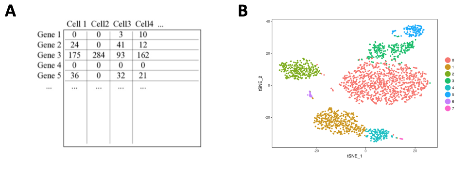 #NephJC Figure 3.   (A) Gene expression matrix with demultiplexed read counts. (B) t-SNE plot of cell clusters. Each cluster of a different color represents a separate cell type determined by relative enrichment of marker genes.